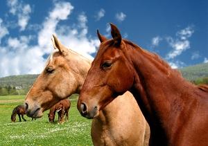 Hesteforsikring
